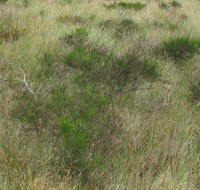 Bay Ocean bush