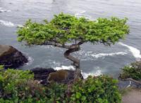 Cape Flattery bonsai