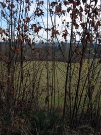 Hatton Road trees 117