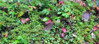 Huckleberry Creek plants