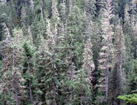 Huckleberry Creek trees
