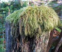 Mossy Mop Top