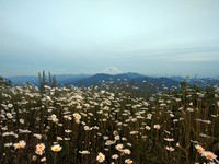 Mt Rainier and daisies from Mt McDonald