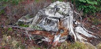 Naches Pass road stump