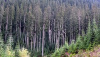 Naches Pass road trees