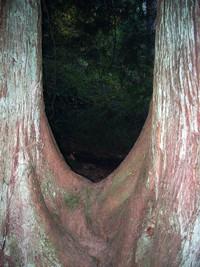 Pinnacle Peak tree