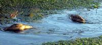 Puget Sound ducks