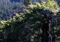 Ranger Creek tree