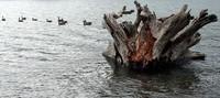 Rattlesnake Lake geese and stump