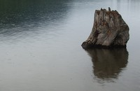 Rattlesnake Lake stump