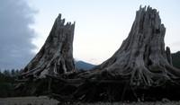 Rattlesnake Ledge stumps