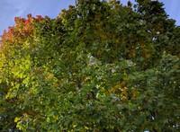 Renton tree