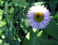Summerland trail wildflower
