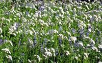 Summerland trail wildflowers