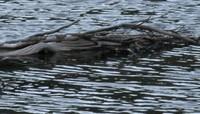 alpine gator