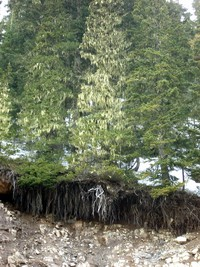 chinook pass tree roots