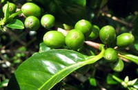 coffee beans near Boquete