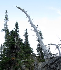 dead tree near Sourdough Gap