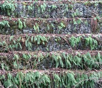 ferns on rock wall