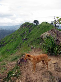 foxy dog on Little Adams Peak