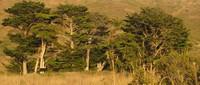 kibesillah trees