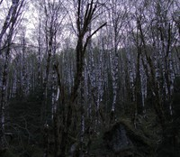 night falling on white trees