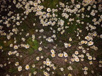 night time daisies