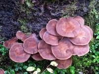 pancake mushrooms
