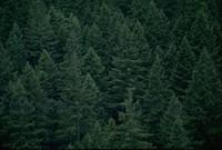 Olympic peninsula trees