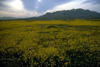 wildflowers east of Palmdale 1983