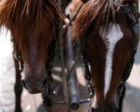 1970 02 22 Saigon horses 01