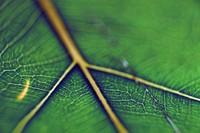 1970 11 04 Hawaii leaf 01
