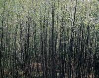 1971 05 01 tree pattern 01
