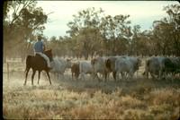 ss 043 1970 06 18 herding cattle on property in australia