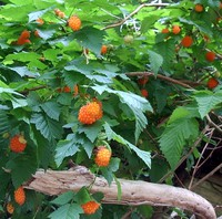 sweet Salmonberries
