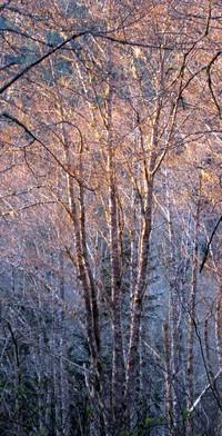tiger mtn trees
