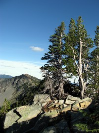 trees on Sourdough Ridge